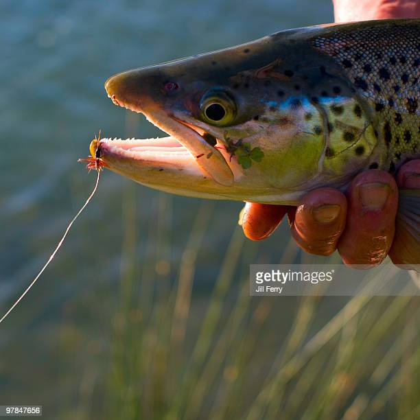 freshly caught brown trout - brown trout stock pictures, royalty-free photos & images