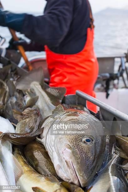 Freshly caught cod