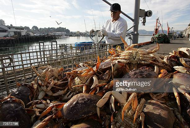 Freshly caught crab is seen in a bin after being unloaded from a boat on the first day of dungeness crab season November 15 2006 in San Francisco...