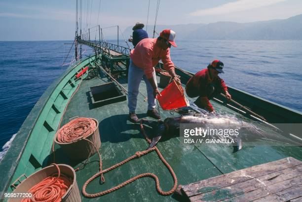 Freshly caught fish washed with sea water swordfish fishing Messina Sicily Italy