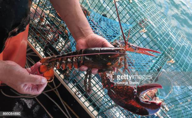 freshly caught lobster on a lobster boat