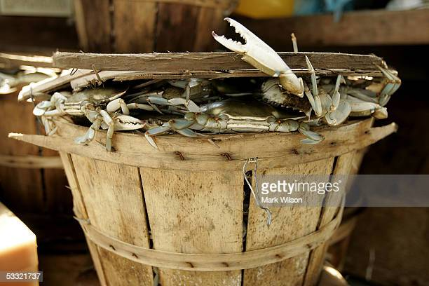 Freshly caught Maryland Blue Crabs sit in a basket aboard the commercial crabbing boat Foxy Roxy on the Chesapeake Bay August 3 2005 in Chesapeake...