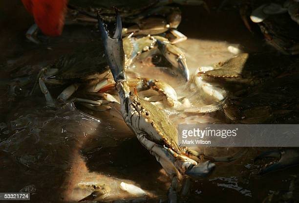 Freshly caught Maryland Blue Crabs sit in a bin aboard the commercial crabbing boat Foxy Roxy on the Chesapeake Bay August 3 2005 in Chesapeake Beach...