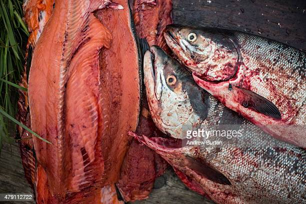Freshly caught salmon wait to be cured on June 30 2015 in Newtok Alaska Newtok which has a population of approximately of 375 ethnically Yupik people...