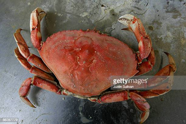 A freshly cooked Dungeness Crab is seen on a crab pot on Fisherman's Wharf November 28 2005 in San Francisco California Fishing boats full of...