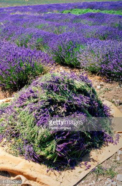 freshly cut lavender lying in the sun, rows of lavender growing in background - アルプドオートプロバンス県 ストックフォトと画像