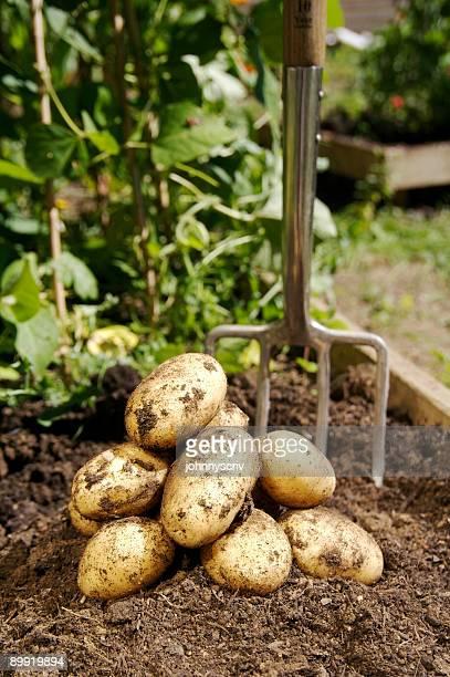Freshly dug Potatoes...