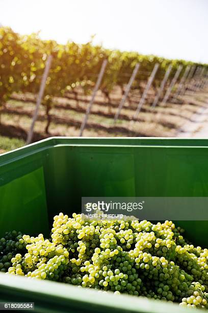 Freshly harvested grapes in container at vineyard