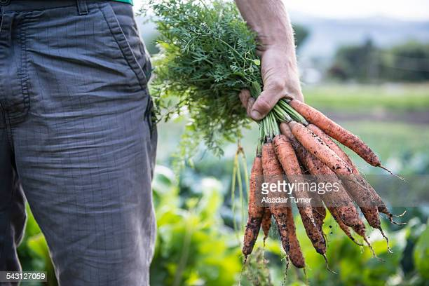 Freshly harvested organic carrots.