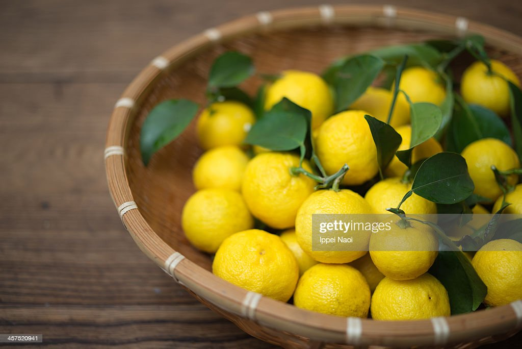 Freshly harvested organic Yuzu (Japanese citrus) : Stock Photo