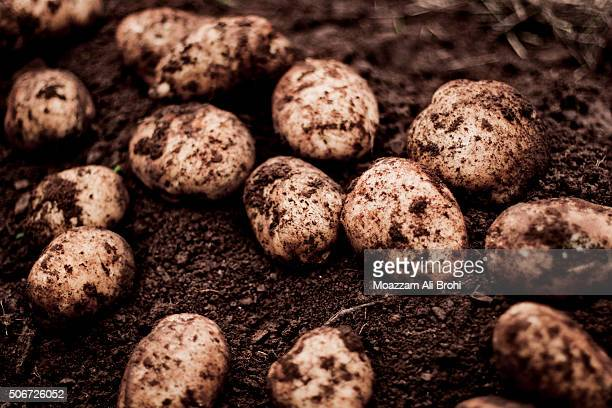 Freshly harvested potatoes on soil