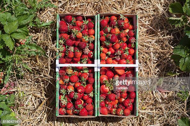 freshly harvested strawberries in field - strawberry fields stock photos and pictures