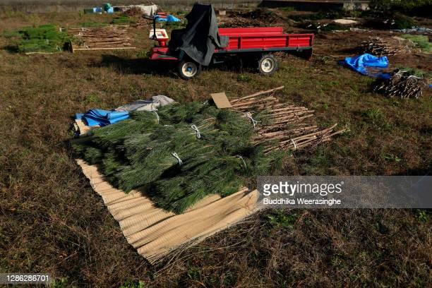 Freshly harvested three-year-old Wakamatsu trees's bundles placed in a field prior to them being prepared for shipping on November 18, 2020 in...