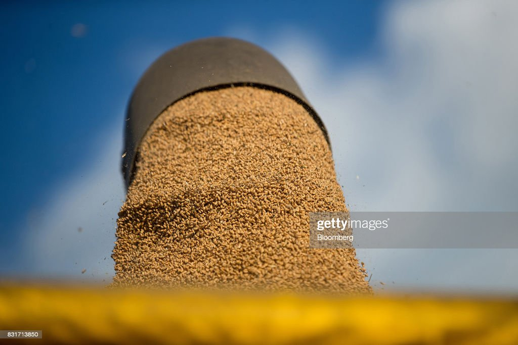 Freshly harvested wheat grain falls from a combine harvester in Wustermark, Germany, on Monday, Aug. 14, 2017. In Germany, problems with specific weight and Hagberg, a measure of baking quality, mean as much as 40 percent of wheat may have to go to the animal feed market this year. Photographer: Krisztian Bocsi/Bloomberg via Getty Images