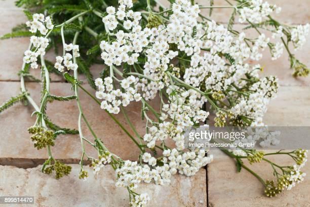 Freshly harvested white yarrow