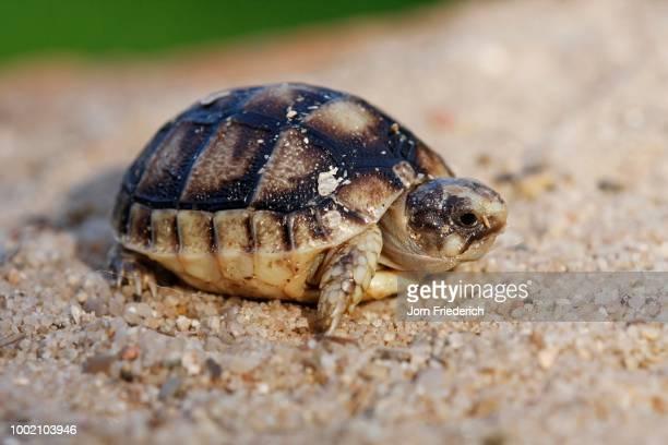 freshly hatched marginated tortoise (testudo marginata), private breeding, hesse, germany - marginata stock pictures, royalty-free photos & images