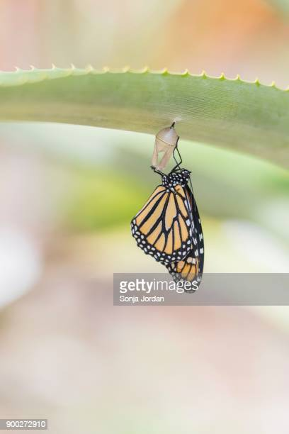 freshly hatched monarch butterfly (danaus plexippus), tenerife, canary islands, spain - hatching stock photos and pictures