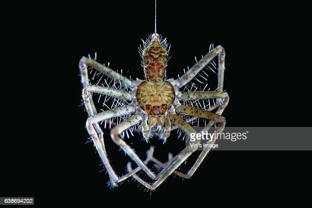 freshly molted huntsman spider - aranha imagens e fotografias de stock