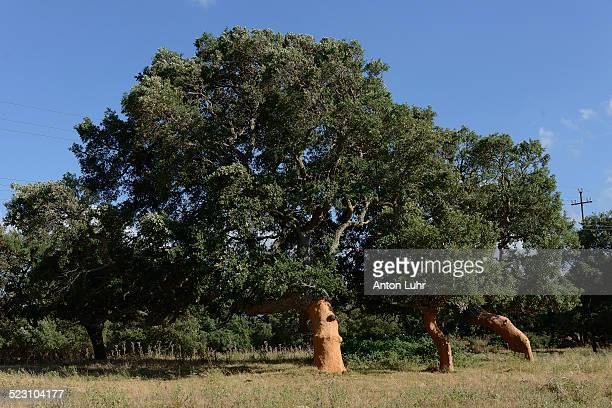 freshly peeled cork oaks -quercus suber-, aglientu, sardinia, italy - cork tree stock photos and pictures
