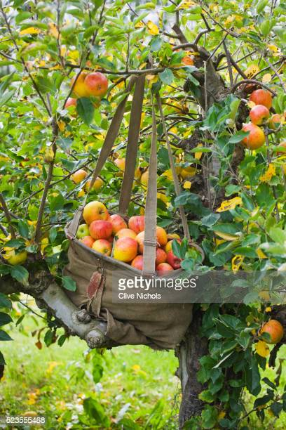 Freshly picked apples in a bag in an orchard