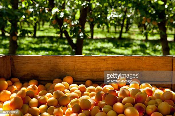 Freshly picked apricots in crate