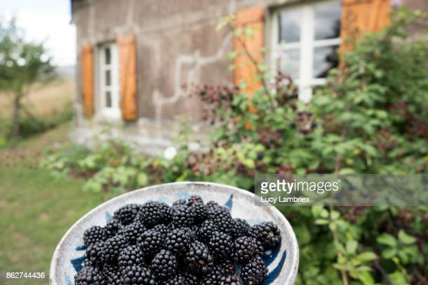 Freshly picked blackberries in front of the shrub they came from