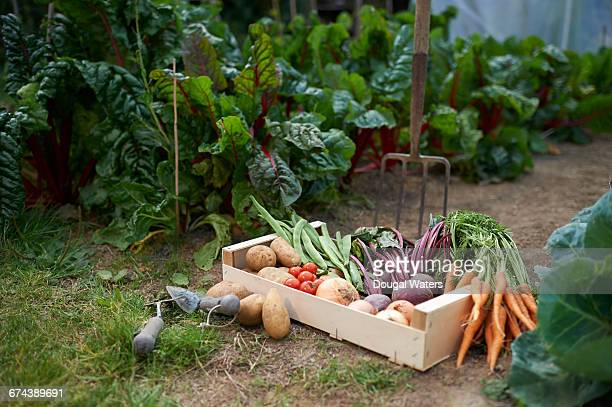 freshly picked box of vegetables on allotment. - gemüsegarten stock-fotos und bilder