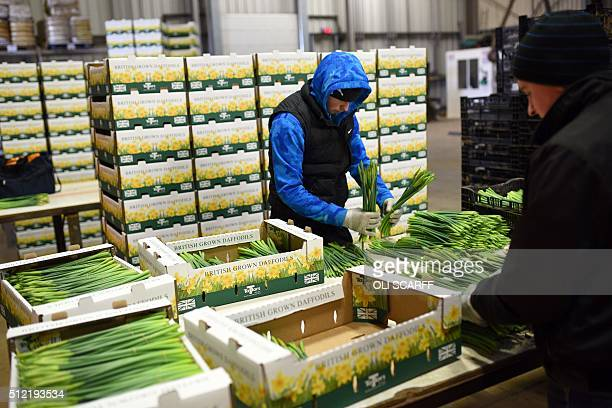 Freshly picked daffodils are boxed for delivery on Taylors Bulbs farm near Holbeach in eastern England on February 24 ahead of Mother's Day which...