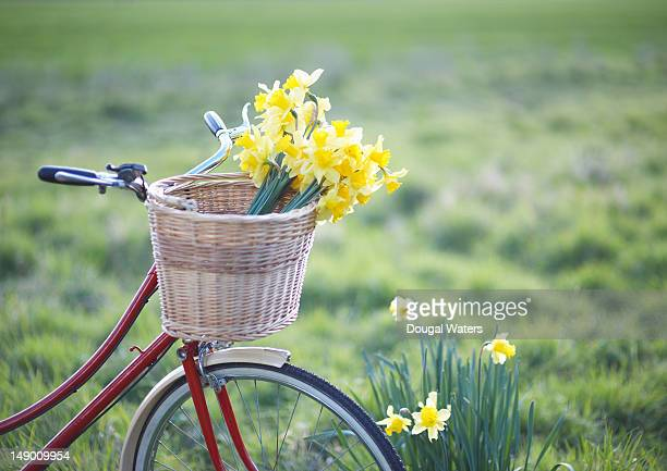 Freshly picked daffodils in a bicycle front basket