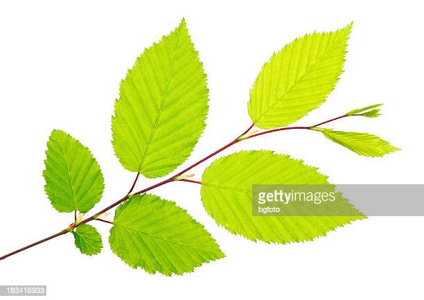 freshly picked green leaves on a twig - twijg stockfoto's en -beelden