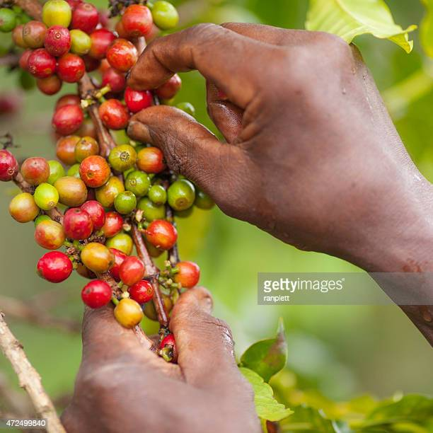 Freshly Picked Kenyan Coffee