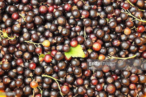 freshly picked organic blackcurrants - pejft stock pictures, royalty-free photos & images