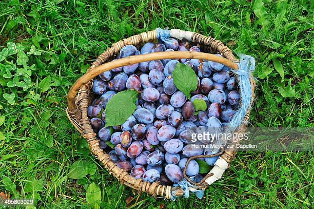 Freshly picked plums in a basket, Middle Franconia, Bavaria, Germany
