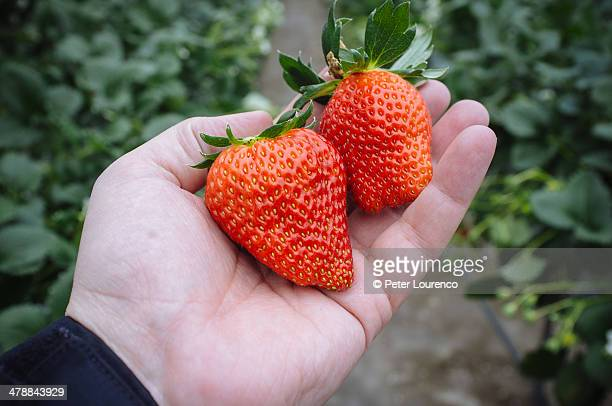 freshly picked strawberries - peter lourenco stock pictures, royalty-free photos & images
