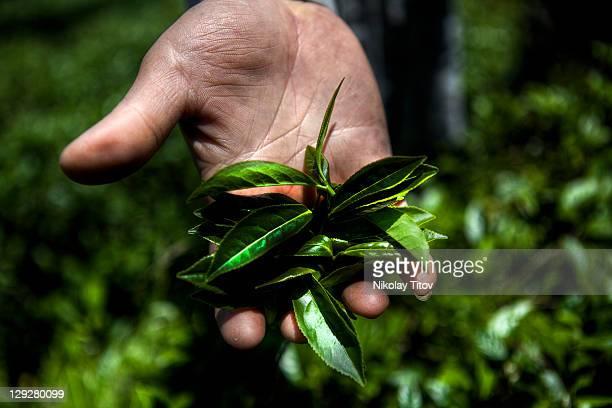 Freshly picked tea leafs