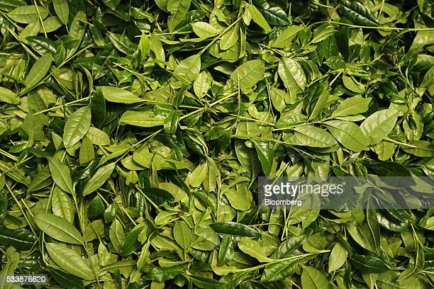 Freshly picked tea leaves are seen before being steamed in a tea field at the Maruri Yoshidameichaen tea plantation in Uji Kyoto Prefecture Japan on...