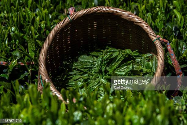 Freshly picked tea leaves lie in a basket at the Moriuchi Tea Farm on April 18, 2019 in Shizuoka, Japan. Japan produces approximately 100,000 tons of...