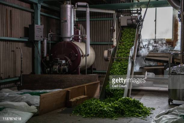 Freshly picked tea leaves pass through a machine that will process them ready for consumption on April 18, 2019 in Shizuoka, Japan. Japan produces...