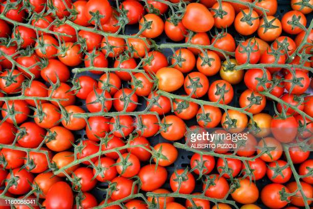 Freshly picked tomatoes are pictured at the Sfera Agricola hydroponic farm in Gavorrano on June 27, 2019. - The Italian tomato is prized around the...