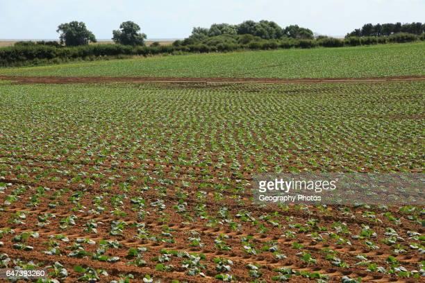 Freshly planted crop seedlings in field Boyton Suffolk England