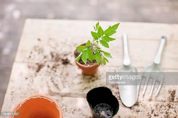 Frisch Pflanzung Setzling in keramische flower pot