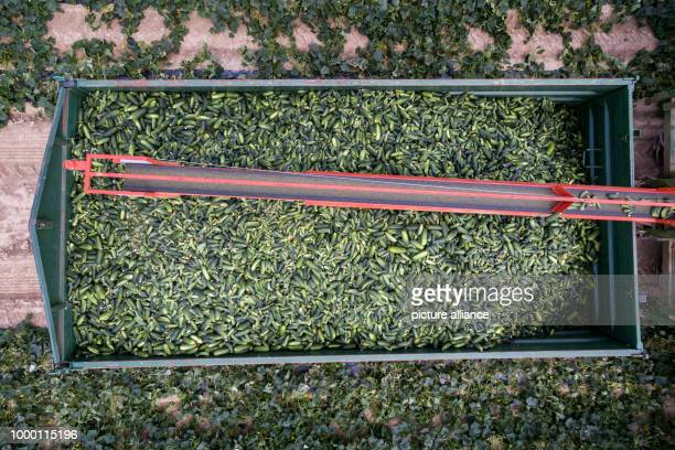 Freshly plucked cucumbers can be seen on a field near Straubing, Germany, 23 June 2017. In Lower Bavaria the cucumber harvest has begun. Photo: Armin...