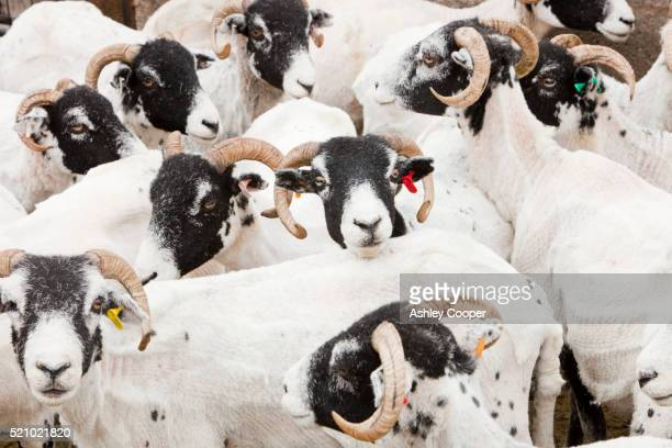 freshly sheared sheep in shearing pen in wet sleddale, lake district, uk. - ashley lamb photos et images de collection