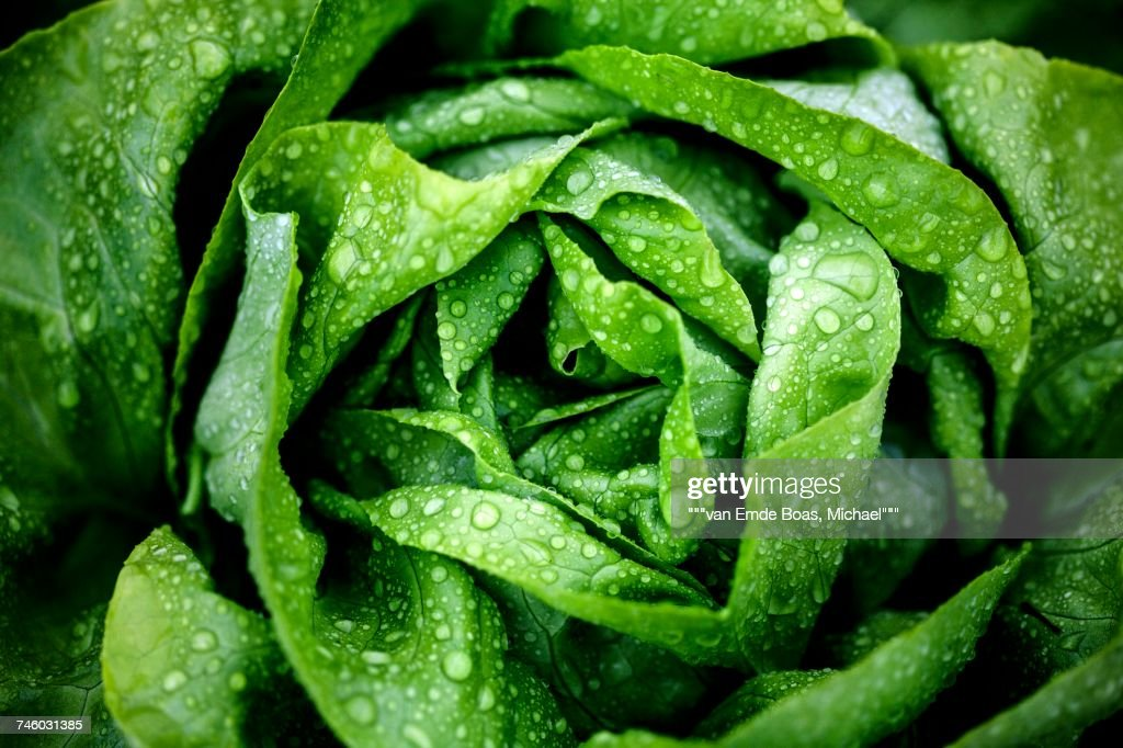 A freshly washed lettuce (seen from above) : Stock Photo