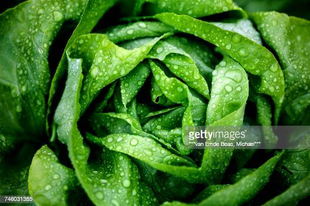 a freshly washed lettuce (seen from above) - lettuce stock pictures, royalty-free photos & images