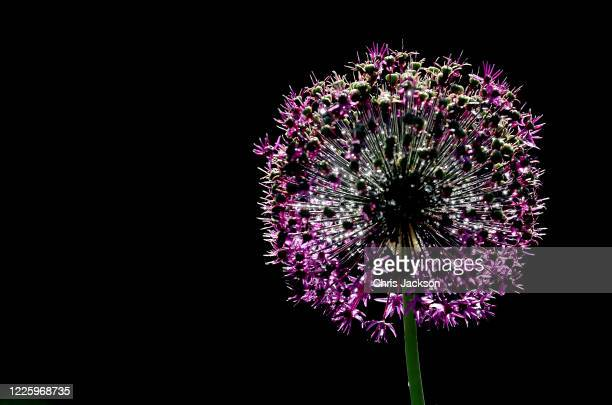 Freshly watered Alliums are seen during lockdown at The Royal Botanic Gardens at Kew Kew on May 20 2020 in Richmond England The gardens remain closed...