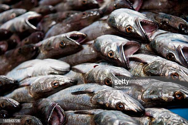 Freshlycaught hake fish lie in a tray during a seafood auction in the Port Vell district of Barcelona Spain on Tuesday Sept 18 2012 Spain will...