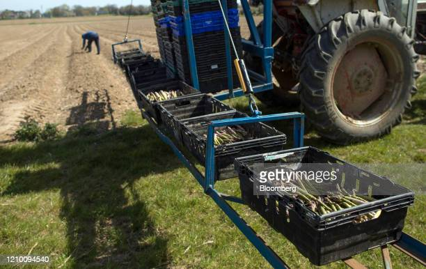 Freshlyharvested asparagus spears sit in trays behind a tractor at a farm in Minster near Ramsgate UK on Wednesday April 15 2020 Almost all of...