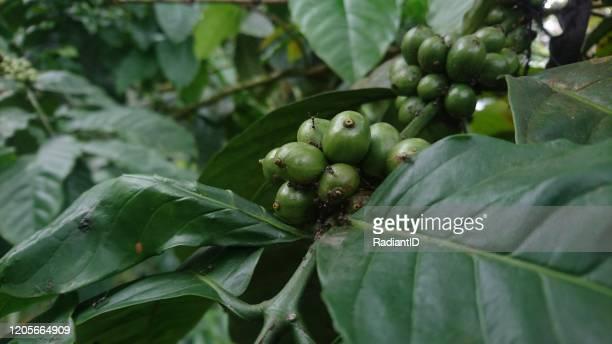 image fresh robusta arabica coffee that