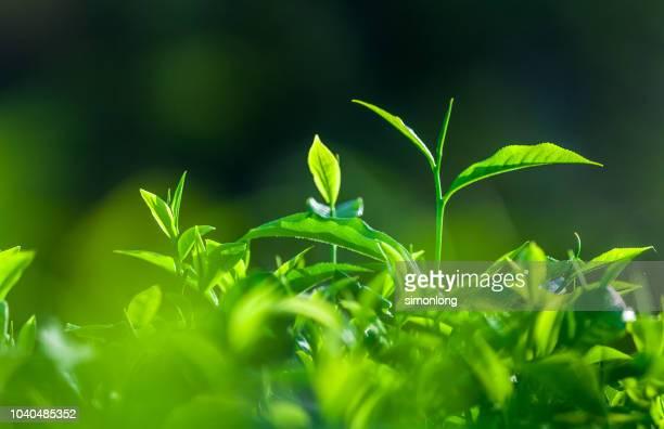 freshness tea leaves - hoja te verde fotografías e imágenes de stock